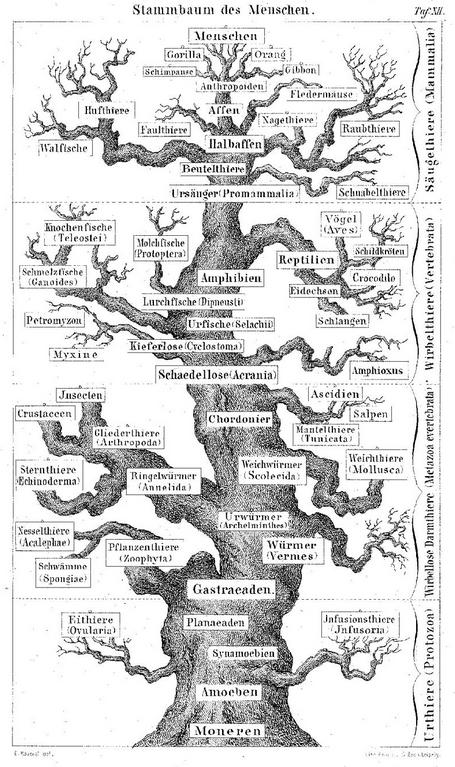 Ernst Haeckel, Stammbaum des Menschen