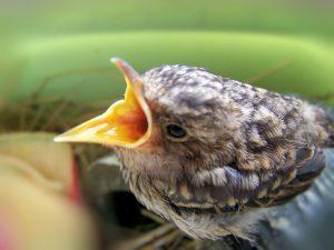 Foto eines Kuckucks (© hagir25/pixelio.de)